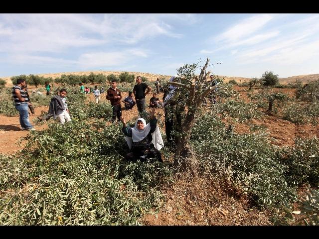 Uliveti palestinesi devastati dai coloni israeliani