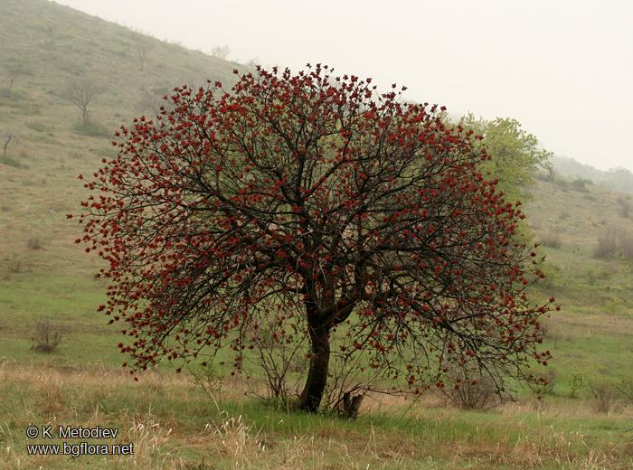 Il Terebinto (Pistacia Terebinthus)