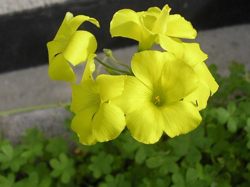 Acetosella gialla (Fonte: http://www.floraitaliae.actaplantarum.org)