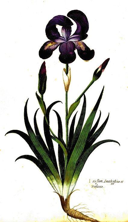 mariam iris